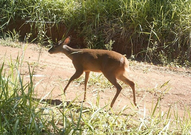 Brazilian deer